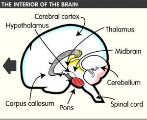 cerebral cortex and the thalamus