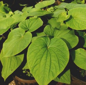 Herbal Medicines for Grand Mal Seizures Are They Really Effective Kava Herb