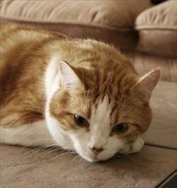 Grand Mal Seizures in Cats.jpg