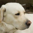 Grand Mal Seizures of Dogs